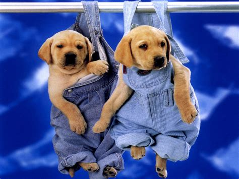 cute dog wallpapers for windows cute puppies labrador wallpaper for your computer desktop