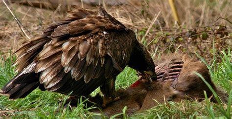 eagle eating deer