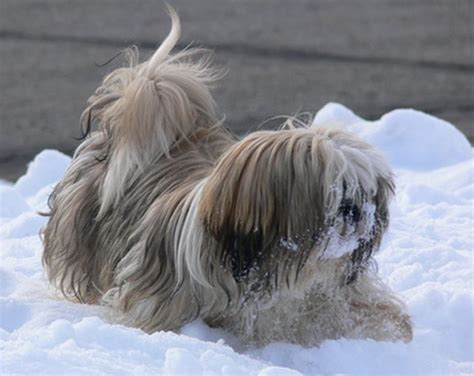 how big does a shih tzu grow how to grow hair on a shih tzu cuteness