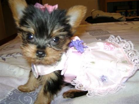 yorkie toys and accessories terrier accessories yorkie clothes carriers ask home design
