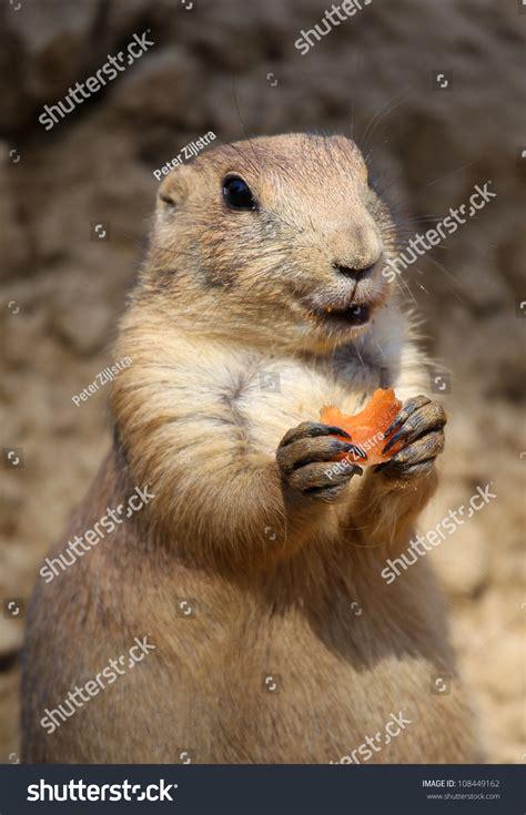 can yorkies eat carrots prairie a carrot stock photo 108449162