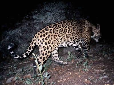jaguar in arizona no border wall the border wall will drive jaguars to