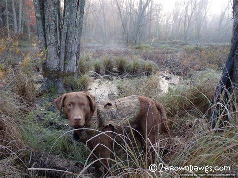 golden retriever limping labrador retriever limp photo