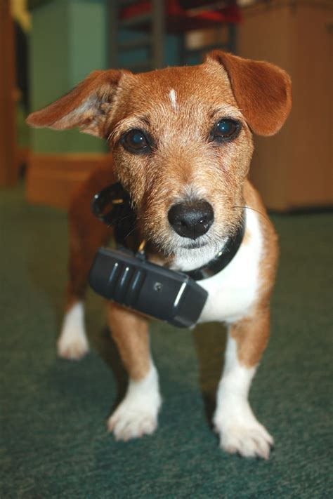 puppy shock collar wearing an electric shock collar c kennel club picture library marc the vet