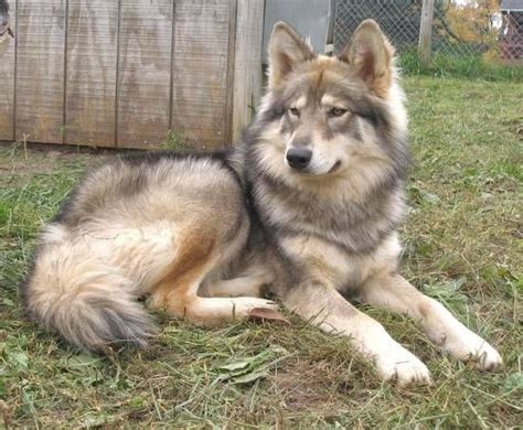 naid puppies american indian animals i want