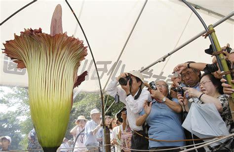 aro fiore la fioritura dell aro titano il fiore pi 249 grande e