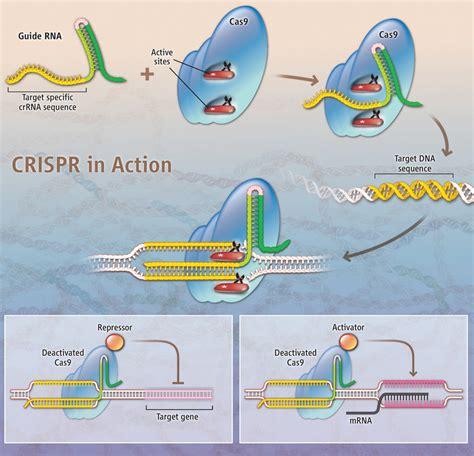 crispr cas crispr cas9 mouse engineered for easy genome editing
