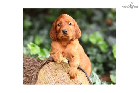 irish setter girl dog names meet princess a cute irish setter puppy for sale for 950