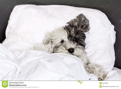 Puppy In Bed by Sleeping In Bed Stock Photo Image 53158581