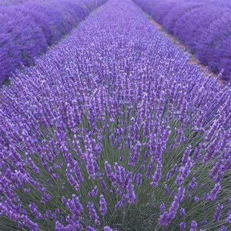 buy lavender lavandula angustifolia munstead