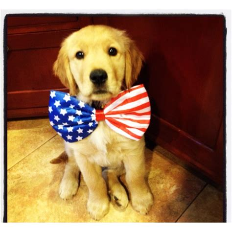 all about golden retrievers all american golden retriever into the