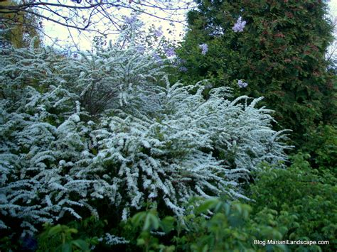 flowering shrubs for early spring in the garden with mariani landscape