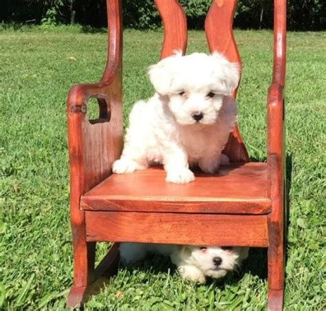 maltese puppies for sale in michigan playful maltese puppies for sale handmade michigan