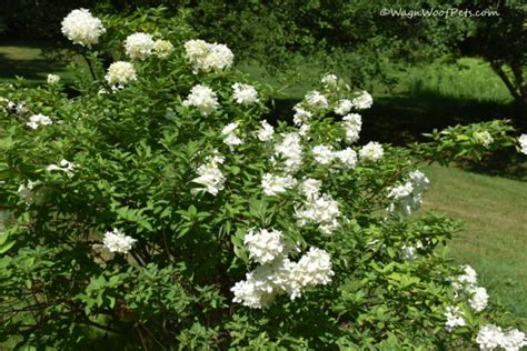 are hydrangeas poisonous to dogs the challenges of gardening with dogs are your plants safe part 5