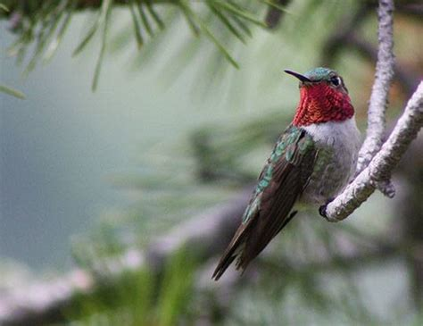 costa s hummingbird life expectancy