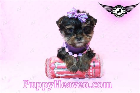 chion yorkies for sale tiny imperial shih tzu pup for sale dogs puppies for sale breeds picture