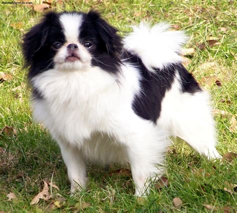 Chin Chin by Japanese Chin Puppies Rescue Pictures Information