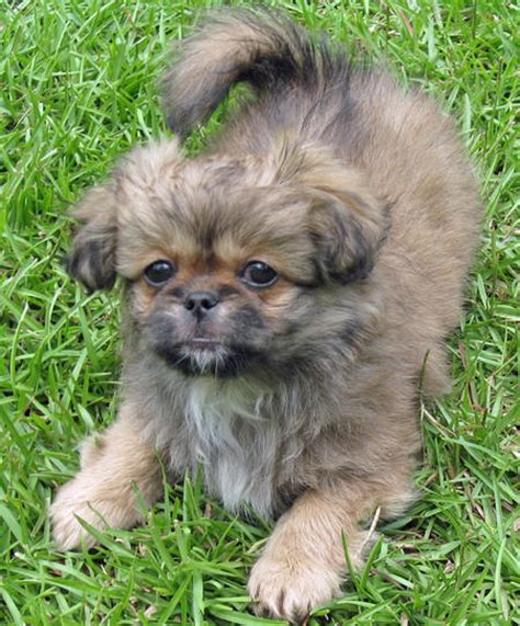 yorkie pekingese puppies yorkie pekingese mix image search results