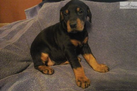 doberman puppies near me doberman pinscher puppy for sale near southern illinois illinois 42066756 3811