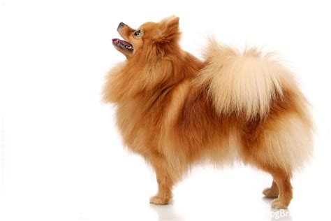 define pomeranian pomeranian breed information pictures pomeranian auto design tech