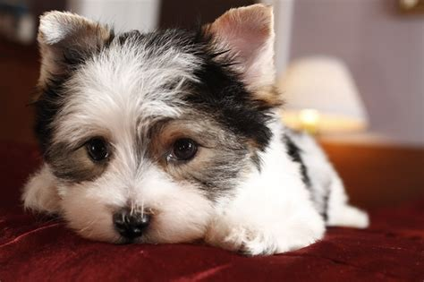 nj yorkie breeders for sale terrier breeders puppies for sale breeds picture