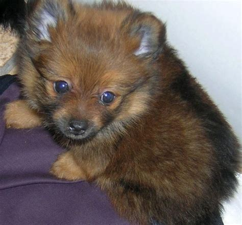 shih tzu and pomeranian puppies shihranian puppy pomeranian shih tzu mix wigan greater manchester pets4homes