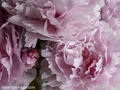 pink peonies photograph by ruby hummersmith sara s fave photos blog part 79