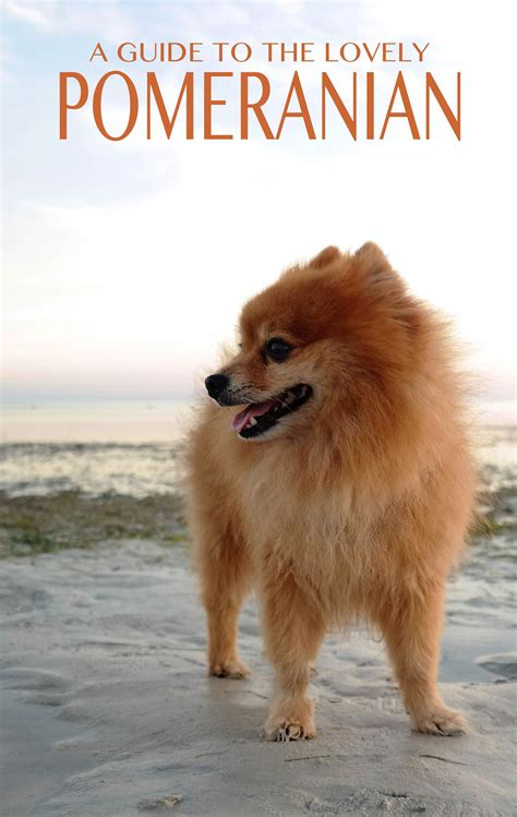 owning a pomeranian the pomeranian the happy puppy site