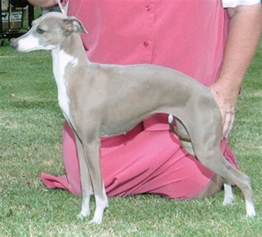 italian greyhound colors colors and markings and chaulait italian greyhounds