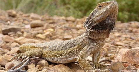 bearded color change bearded dragons use color changes to communicate and