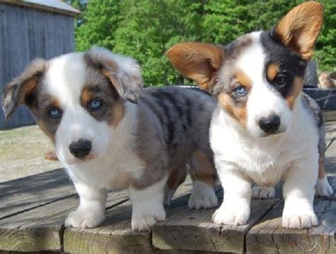 blue merle corgi puppies for sale blue merle corgi puppies for sale puppies animals blue merle
