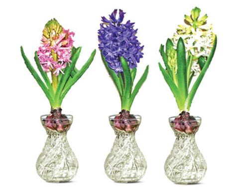 Glass Hyacinth Vases by Aldi Us Hyacinth In Glass Vase