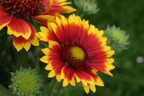 stauden die den ganzen sommer blühen kokardenblumen langbl 252 hende stauden