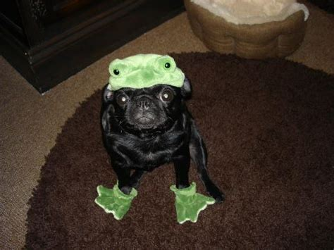 black pug costume 25 best ideas about pugs in costume on pug puppies pug and pugs