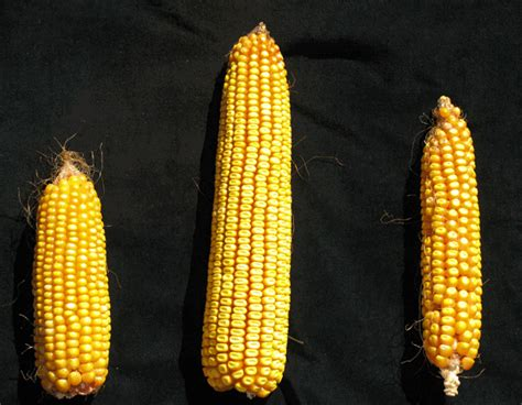 Homöopathie Bei Pflanzen 1703 by Detailed New Genome For Maize Shows The Plant Has