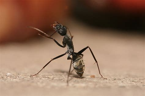 get rid of ants in house get rid of carpenter ants in the house pest control seva call blog