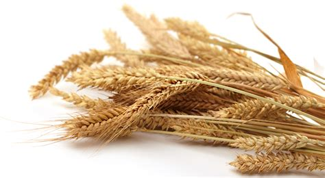 whole grains images wheat grain png www pixshark images galleries with