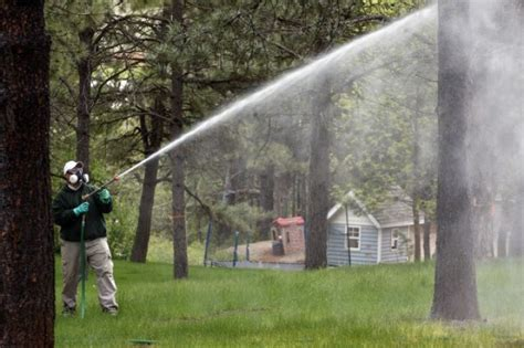 tree spray forest expert urges pine tree owners to spray now to
