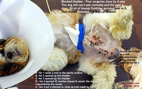 shih tzu bladder surgery veterinary medicine surgery singapore toa payoh vets dogs cats rabbits guinea