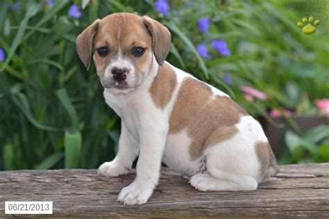 beabull puppies ohio beabull puppies for sale breeds picture