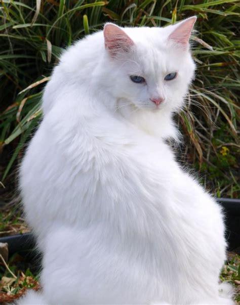 white cat white cat images animal