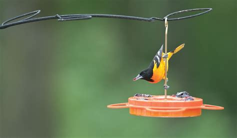 wild birds unlimited my favorite hummingbird and oriole