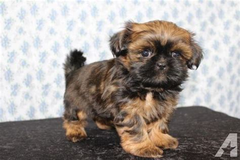 akc shih tzu akc shih tzu puppies for sale in ellensburg washington classified americanlisted