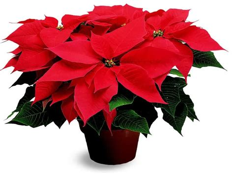 poinsettia plants poisonous or not let s put it to rest