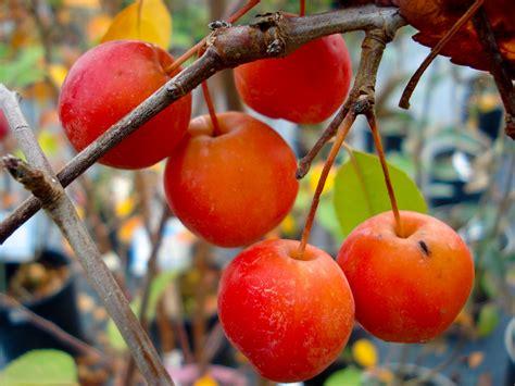 melo da fiore meli da fiore flora 2000