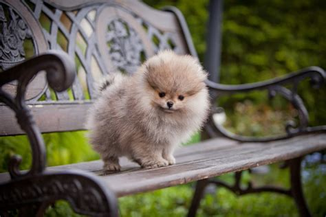 what are pomeranians pomeranian dogs breed information omlet