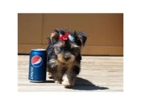 teacup yorkie dallas teacup size yorkie puppies for re homing animals