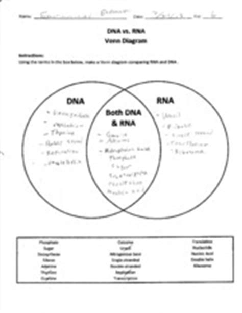 dna replication and protein synthesis venn diagram dna vs rna worksheet free worksheets library