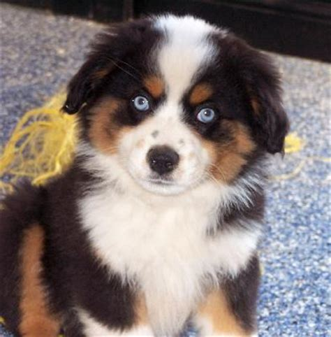 miniature australian shepherd puppies puppy dogs mini australian shepherd puppies