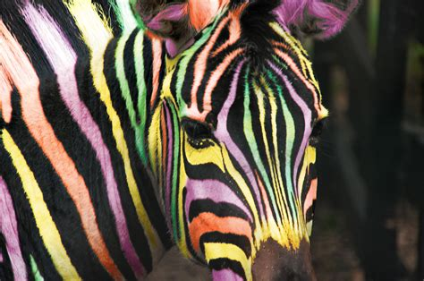 what color is a zebra s skin what colour is a zebra 171 singletrack forum